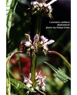 Leonurus spp